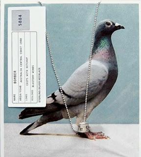 anillas de palomas como colgantes
