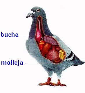 digestión lenta en palomas