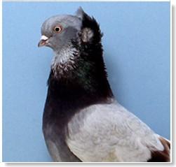 colores de palomas mensajeras