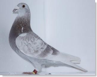 la calidad de la paloma