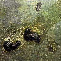salmonelosis en palomas mensajeras