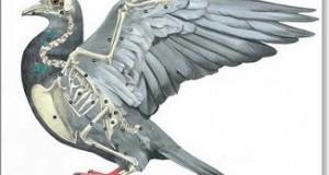 antebrazo de la paloma