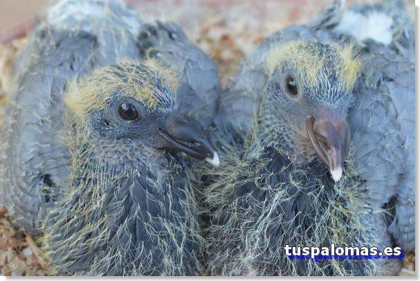 pichones de palomas