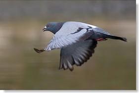 las palomas y el magnetismo