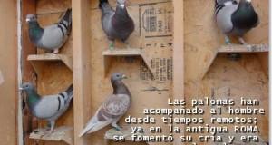 la cria de palomas