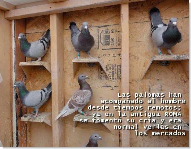 como criar palomas