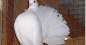 palomas colipavas
