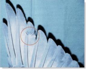 la salud de las plumas