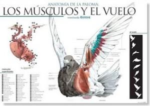 anatomia de las palomas
