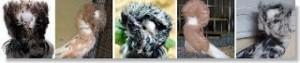 palomas de raza jacobina