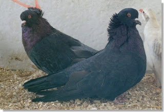 palomas de raza montauban