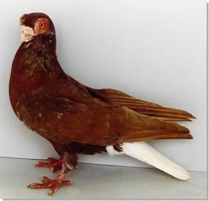 palomas de raza ojo de fresa
