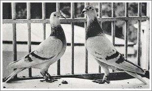 manual de colombofilia : palomas sion