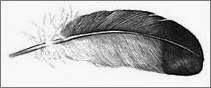 pluma de paloma