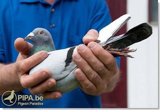 internacional barcelona racing pigeon 2013