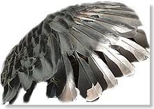 muda de las plumas en palomas