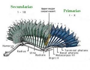 muda de la plumas de la paloma