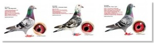 subastas de palomas mensajeras