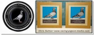 racing pigeons media