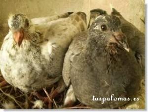 consejos básicos sobre la salud de las palomas