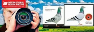 international pigeons photos