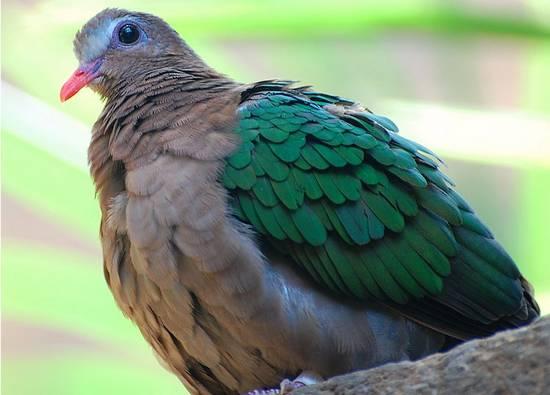 palomas exoticas del mundo