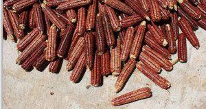 maiz oscuro contiene más antioxidantes