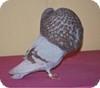 buchón gaditano
