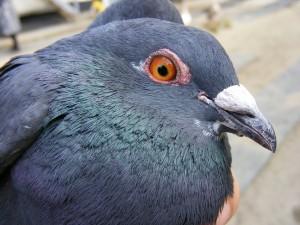 palomas como mascotas
