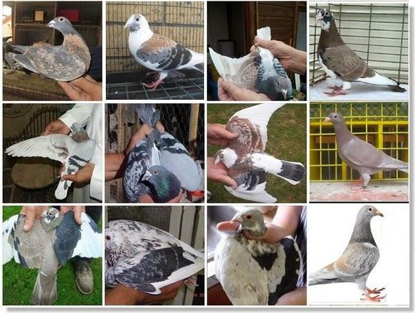 palomas mensajeras de color