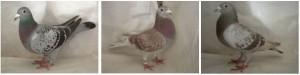 pigmentos de color en palomas