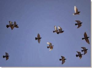 alimentacion palomas previa a una carrera