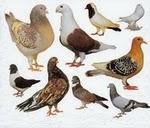 razas de palomas