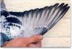 teoria del ala en palomas mensajeras