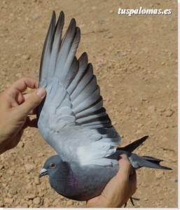 problemas con la muda de las palomas