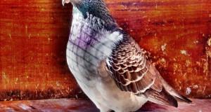 3. racing pigeon