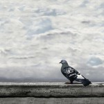 6. solitary pigeon