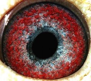 teoría del ojo en la paloma mensajera