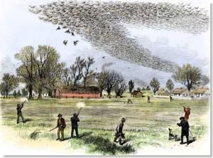 paloma migratoria americana