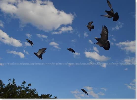 carreras de palomas mensajeras