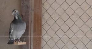 enfermedades de las palomas domésticas