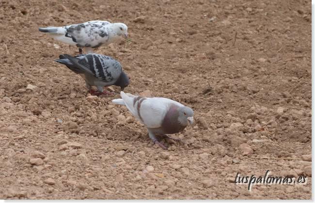 palomas envenenadas