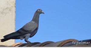 palomas perdidas