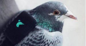 gps para palomas