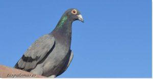 entrenamiento de palomas mensajeras