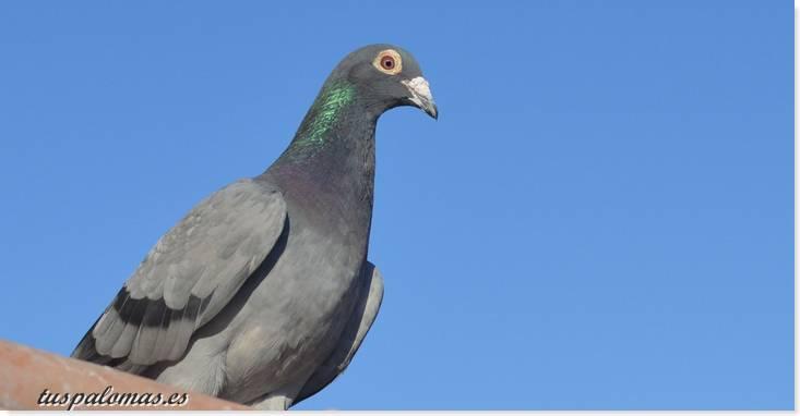 paisaje y orientación en palomas