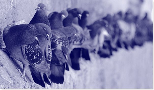 como alejar palomas de tu casa