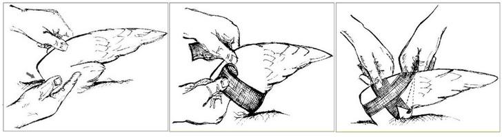 como curar el ala rota de una paloma
