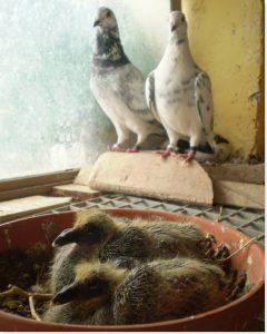 pichones de paloma compartidos en el palomar