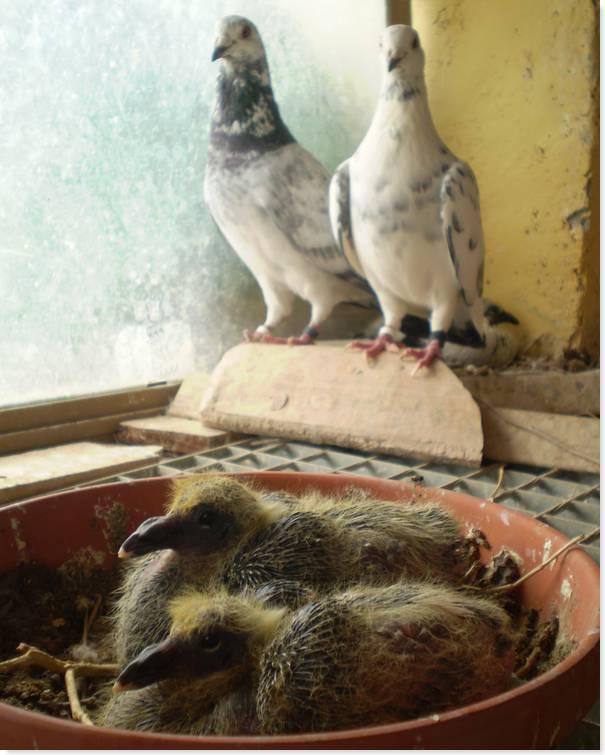 pichones compartidos en el palomar